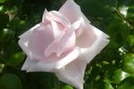[+] Увеличить - роза
