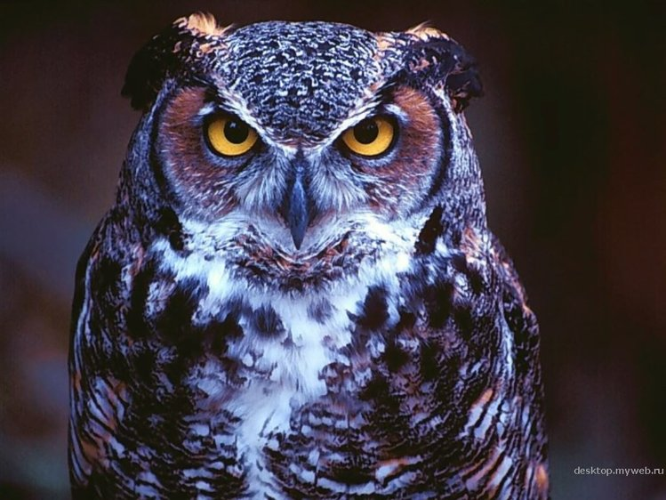 Фотография: Great Horned Owl, St. Louis, Missouri.  Размер: 1024x768