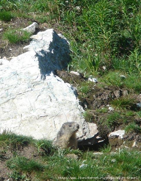 Сурок - представитель природы Альп