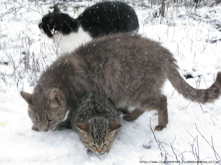 Кот с двумя головами