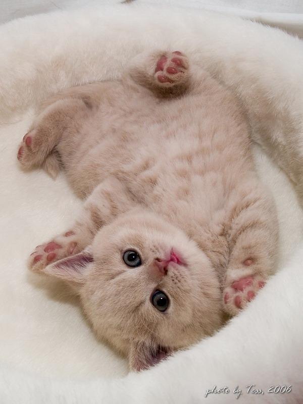 розовые лапки котенок пушистик кремовый британец, животные.