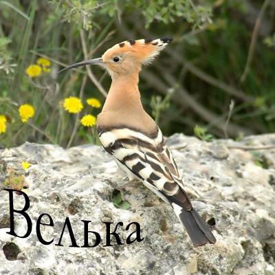 яркоокрашенная птица с длинным узким клювом и хохолком, иногда.