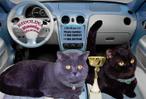 Британские коты.  Питомник Ridolina.