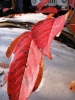 [+] Увеличить - Листья