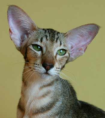 А как вам такая порода - Ориентальная кошка.