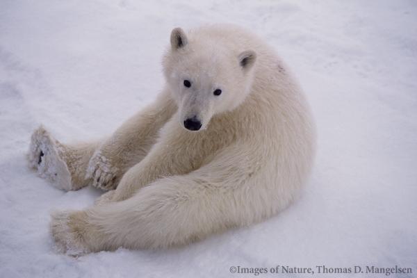 Белые медведи. фото интернета.