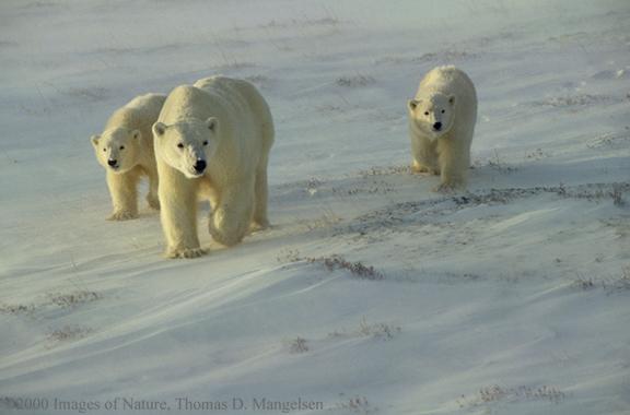 Белый медведь занесён в Красную книгу Росии.