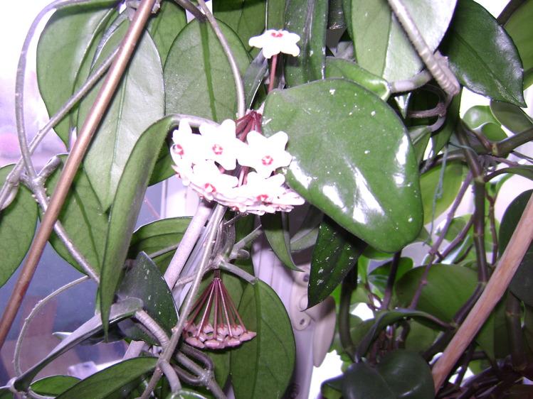 Лиана растение уход в домашних условиях 358