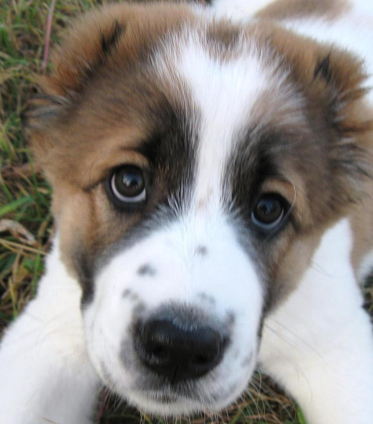 Алабай Алабай - фото - Домашние собаки.