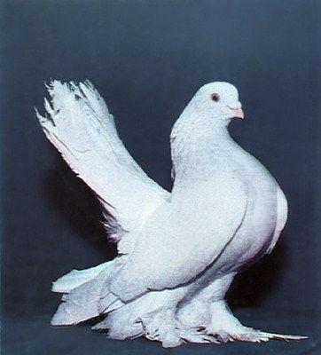Птицы. продажа Голуби ростовские.