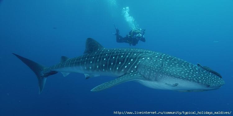 Сейчас китовая акула - это наибольшая рыба в мире.