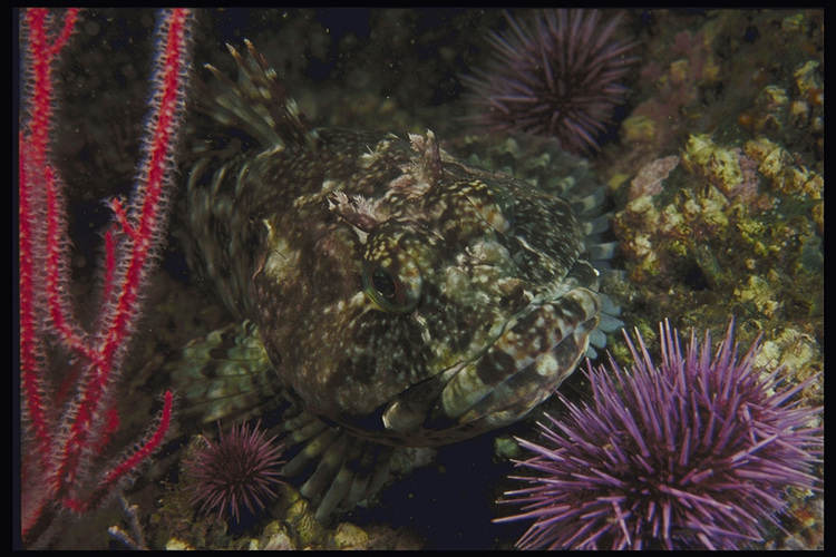 Рыба темно-зеленого цвета маскируется на камнях.