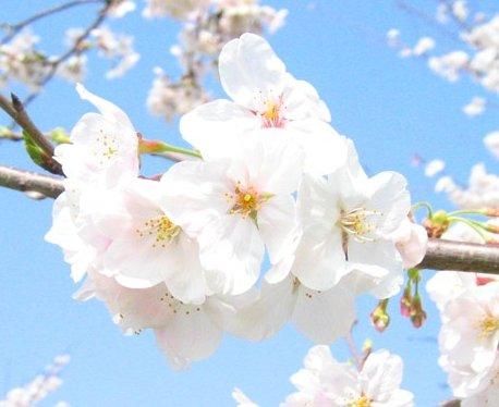 Во время правления сёгуната Токугава (1603-1867 годы) множество деревьев сакуры было привезено с.
