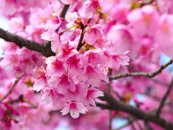 www.chitalnya.ru.  TSvetushhaya-Sakura.jpg Цветущая Сакура.