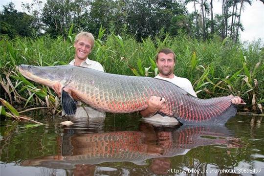На фото: Пираруку - самая большая пресноводная рыба в