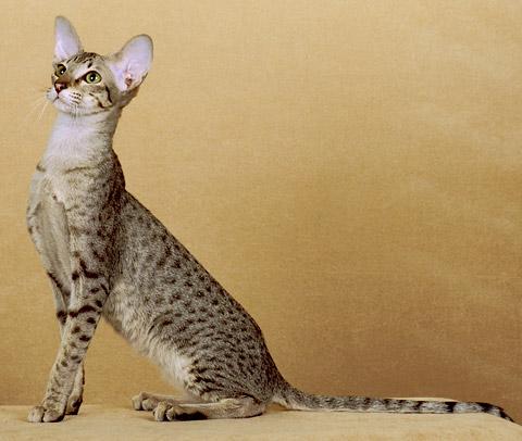 14 ориентальная кошка.