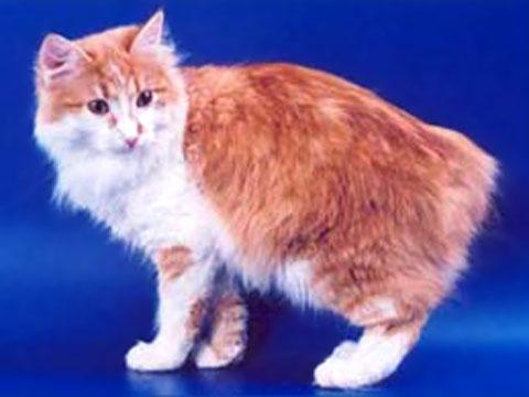 ...лесная кошка.  Первые представители Карельского бобтейла были.