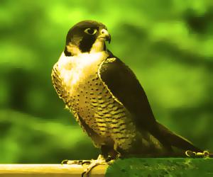 ...птица из семейства соколов, являющаяся еще и...