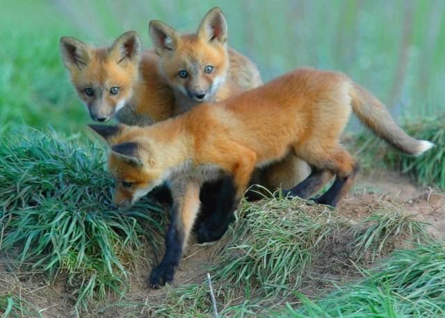 Лисицы роют их сами либо (и очень часто) занимают принадлежавшие барсукам, суркам, песцам и другим животным...