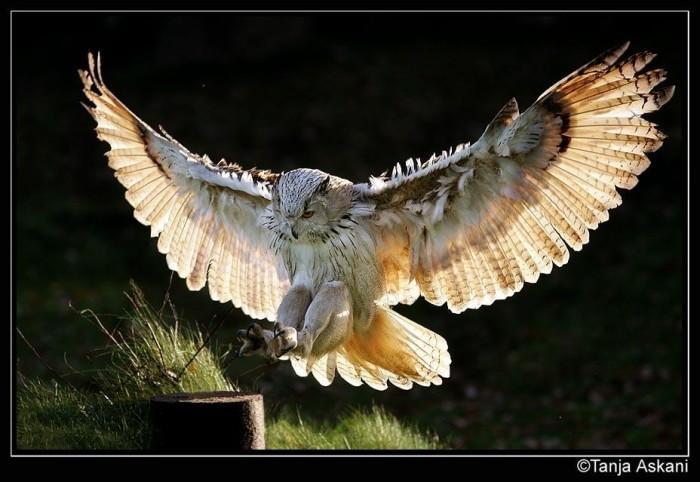 Хищники в полёте (25 фото) - Фотоколлекция.