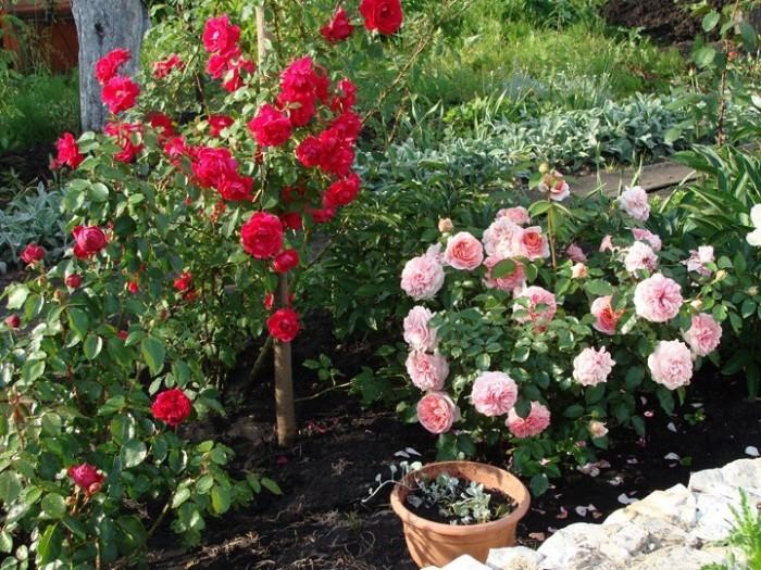 Роза плетистая эден роуз 6