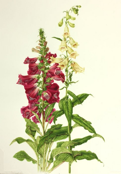 Digitalis purpurea and Digitalis lutea