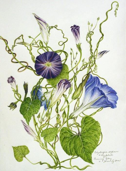 Ipomoea purpura & Convolvulus sepium