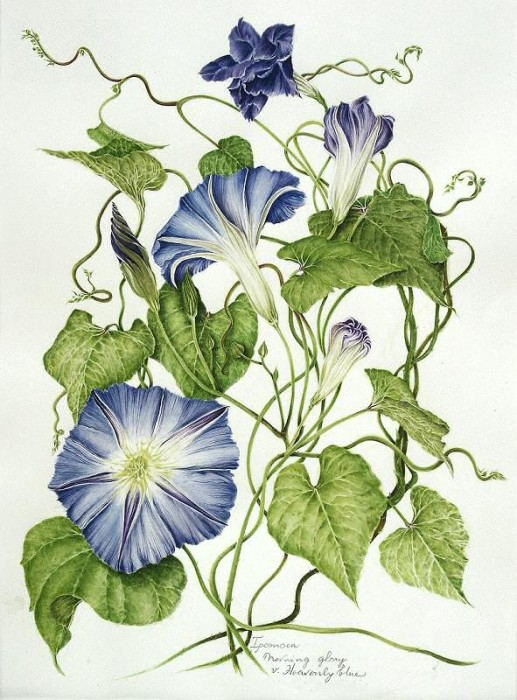 Ipomoea purpura (Morning Glory)