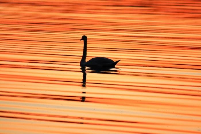 Лебединая песня на зака