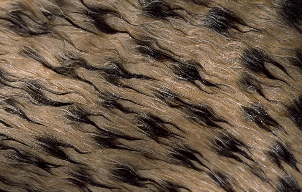 Гепарды имеют пятна неровной