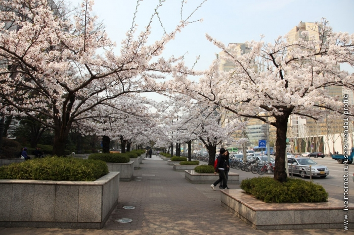 Народ на улицах млеет под вишневым пологом.