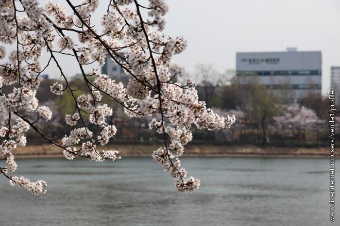 Сакуры свесили ветви над водой.