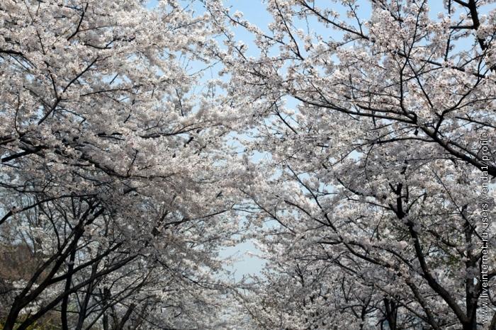 Смыкаются над дорожкой белые ветви.
