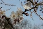 Абрикос цветёт