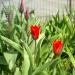 Тюльпаны на обочине