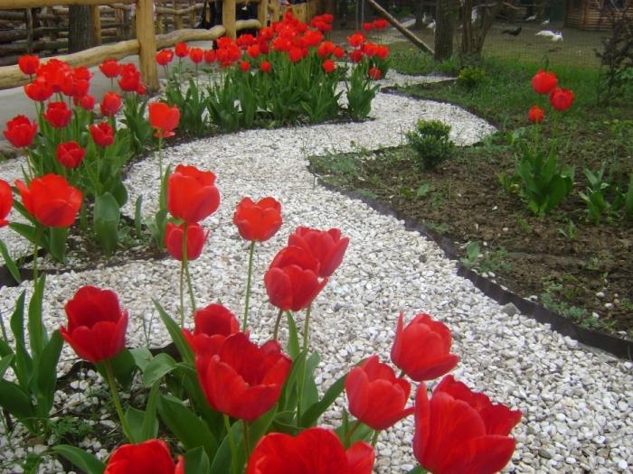 1 мая 2011 г. Тюльпаны цветут