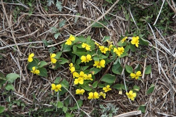 Желтые фиалки притулились у тропинки.