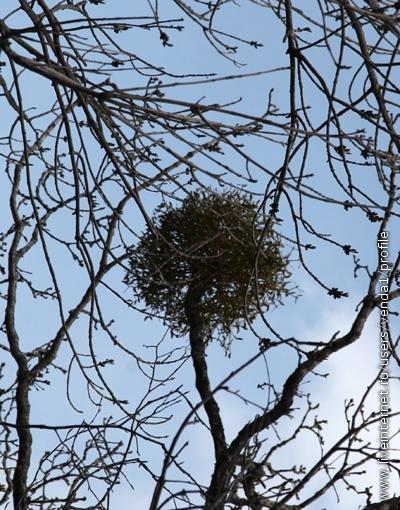 Похожие на гнезда скопления веток, растущих из ствола кустиком. Кажется, где-то я читала, что это не само дерево дает ветки, а на нем вырастает растение-паразит.