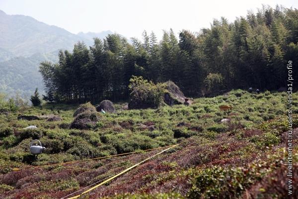 Чуть выше располагались чайные плантации. Желтой лентой обозначен участок, на котором участники фестиваля могут пособирать чай, что и было сделано.