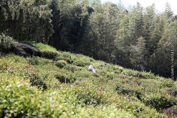 Сборщица чая завернута с ног до головы для защиты от солнца и зноя.
