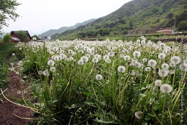 В поисках чая набрела на плантации одуванчиков, которые чинно росли на грядах, покрытых темной пленкой.