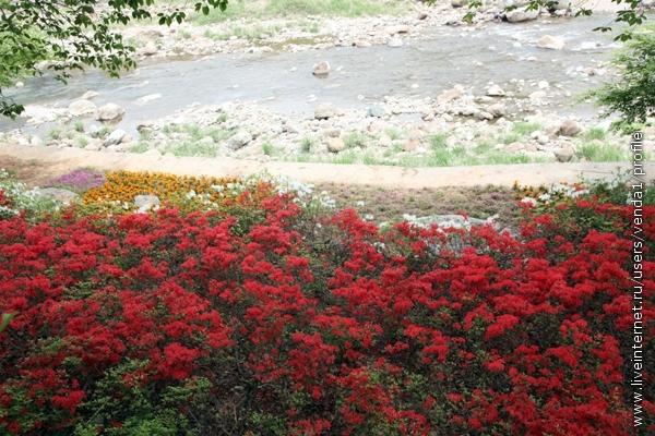 Над рекой террасами росли азалии.
