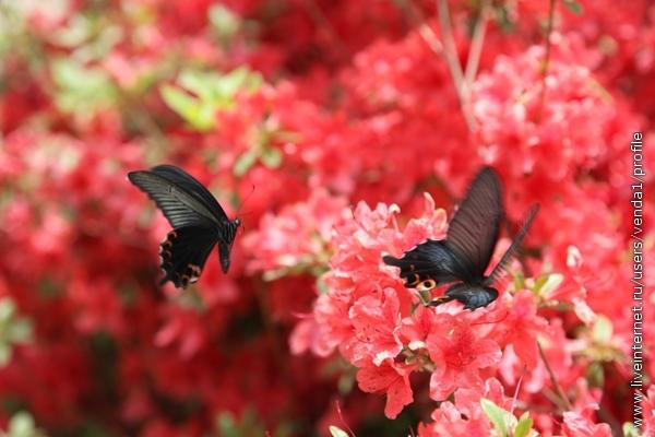 и необычные бабочки порхают над азалиями, не присаживаясь ни на секунду,