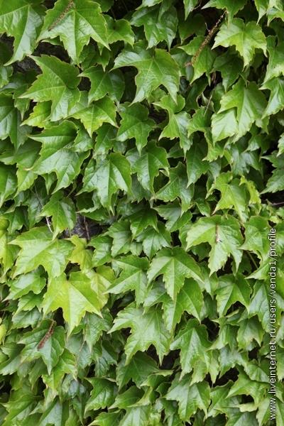 а девичий виноград уже заплел заборы, образовав зеленую глянцевитую стену, как бы намекая на то, что лето не за горами.