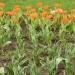 Тюльпаны... Весна...