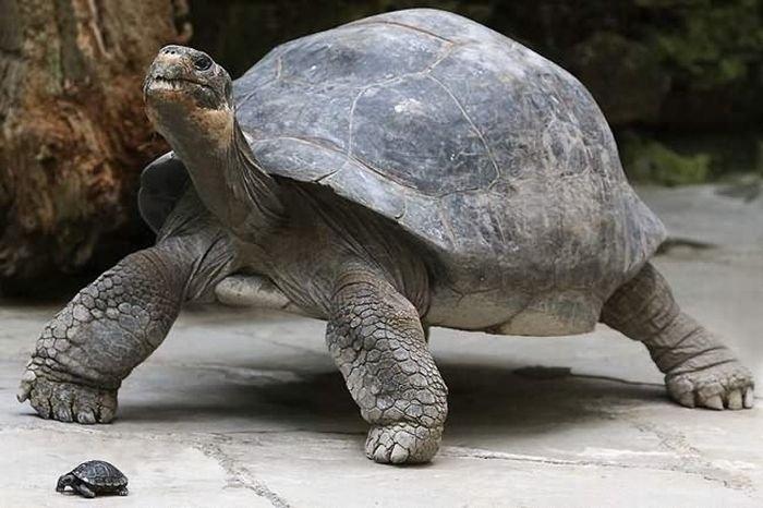 Черепаха Сильверстоун. Ее хозяйка, Кристина Фойл оставила ей наследство в размере 200000$.