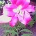 огромная лилия во дворе