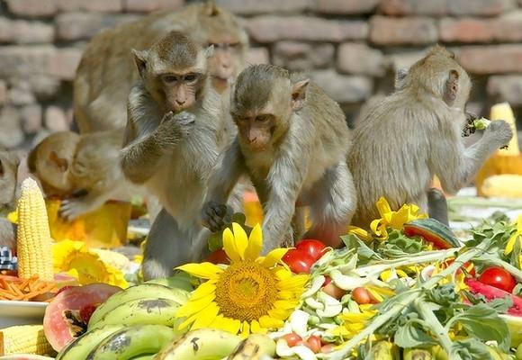 Раньше вместо одного большого стола организаторы выставляли сотню маленьких столиков. Однако самые сильные особи не желали делить свой столик с другими, и в итоге почти 500 обезьян оставались голодными. Общая тарелка решила эту проблему, но беспорядки за
