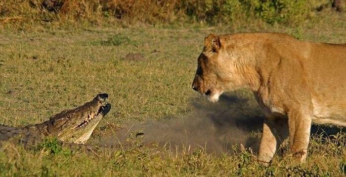 Львы против аллигатора