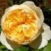 Японская роза фото